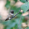 Black-chinned Hummingbird (male)