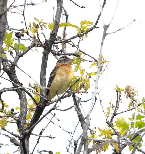 Black-headed Grosbeak (female)