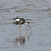 Juvenile Black-necked Stilt scratching.