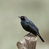 Brewer's Blackbird (male)