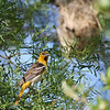 Female Bullock's Oriole with nest in background.
