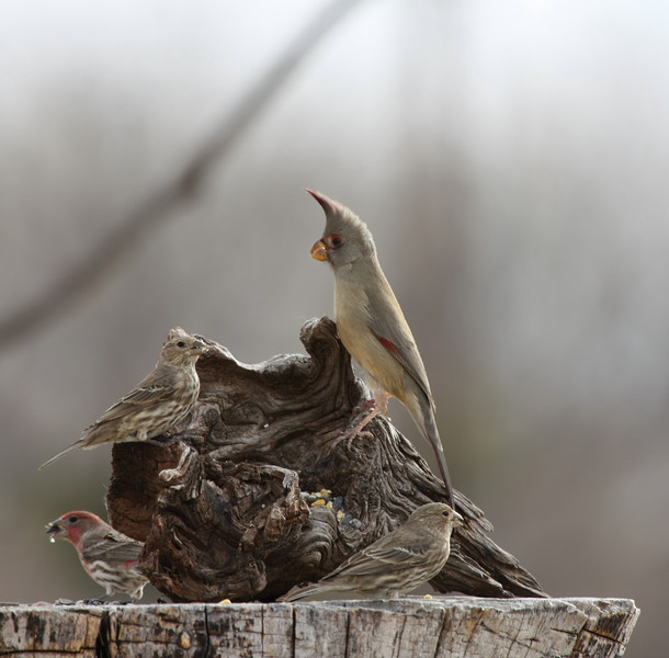 Pyrrhuloxia (female) and House Finches.