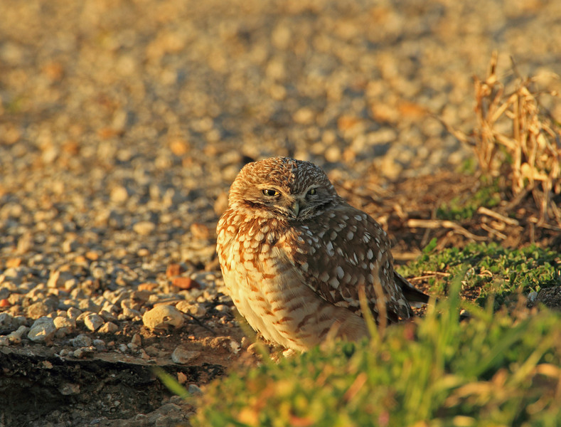Burrowing Owl (Dallas County)