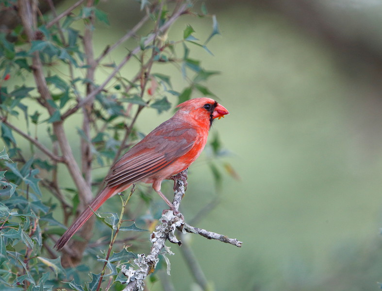Male Northern Cardinal eating an Agarita berry.