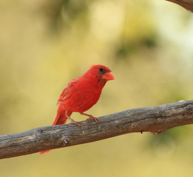 Leucistic Male Northern Cardinal (Cedar Gap Farm 2011)