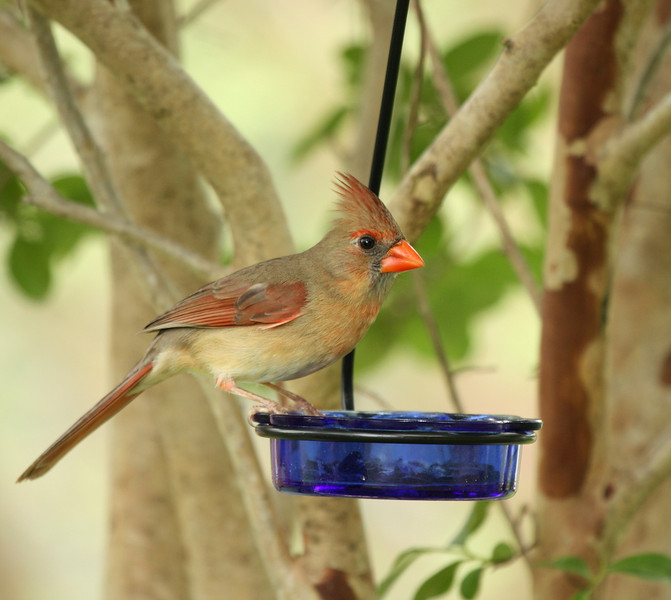 Northern Cardinal (female)