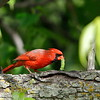 Male Northern Cardinal with prey.