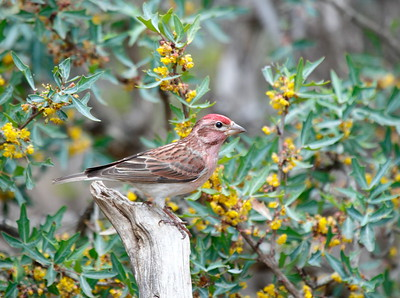 Cassin's Finch (Kimble Co, Texas)