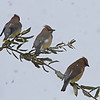 Cedar Waxwings (color variant)