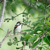 Chestnut-sided Warbler (male)