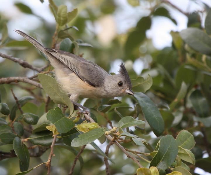 Black-crested Titmouse (juvenile)