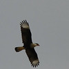 Crested Caracara (Rockwall County)