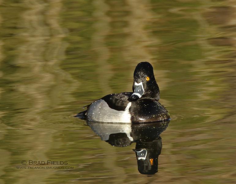 Ring-necked Duck Drake