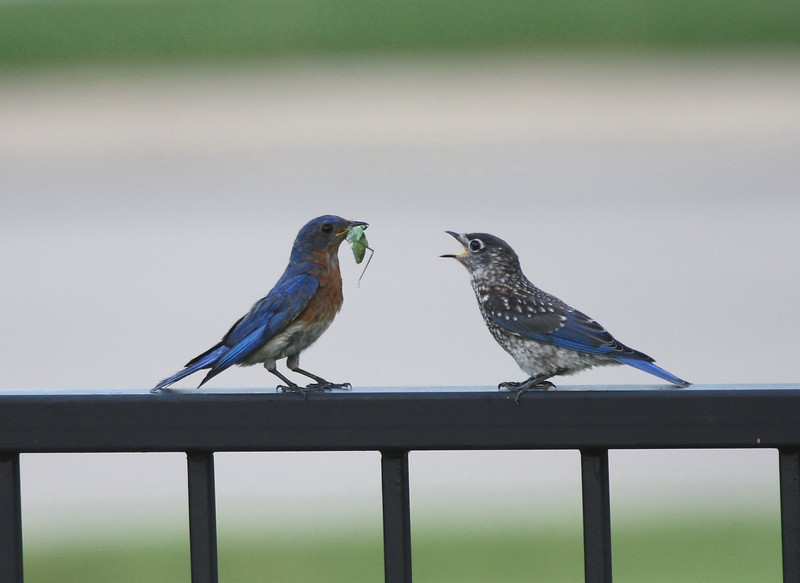 Male Eastern Bluebird feeding male juvenile (2nd brood, 2008).