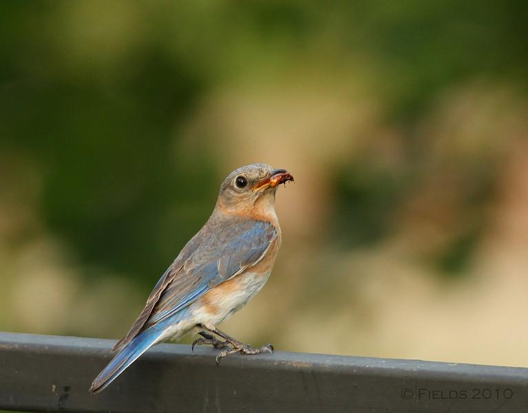 Female Eastern Bluebird with june bug.
