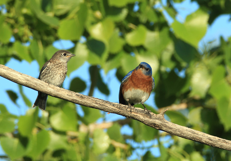 Eastern Bluebird (juvenile and adult male)