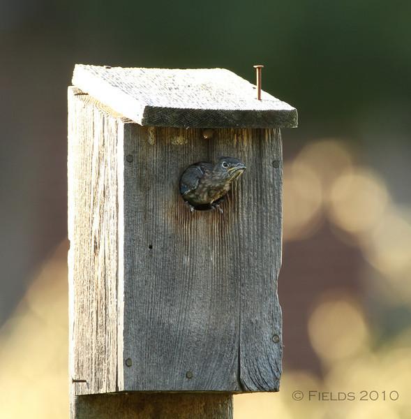 Eastern Bluebird fledgling falling asleep. (3rd brood, 2010)