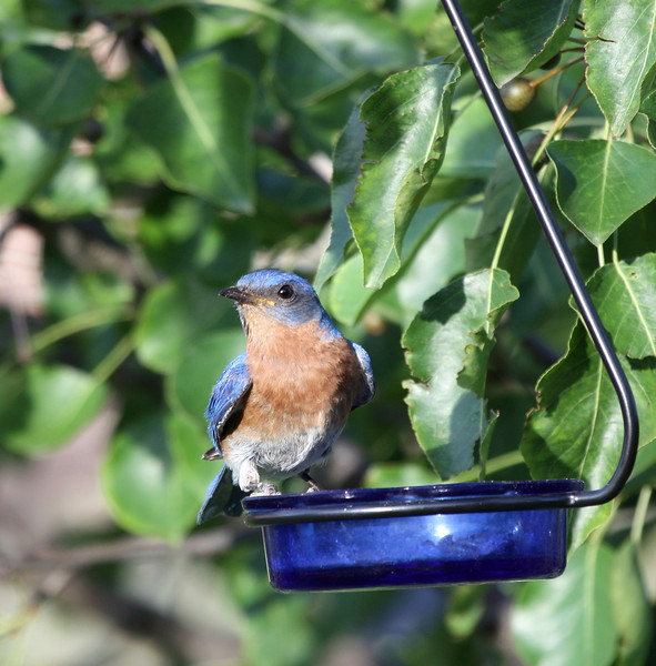Eastern Bluebird (male)