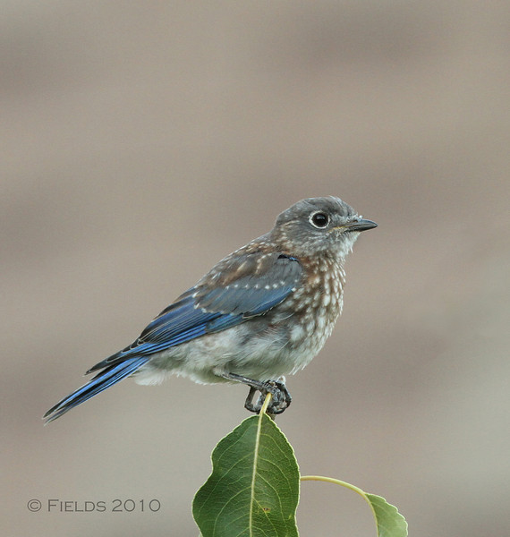 Eastern Bluebird fledgling (3rd brood, 2010)
