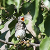 Eastern Bluebird fledgling (3rd brood, 2008).