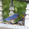 Male Eastern Bluebird feeding male juvenile (2nd brood, 2008).