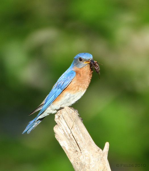 Male Eastern Bluebird with cricket.