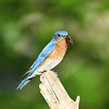 Male Eastern Bluebird with cricket.