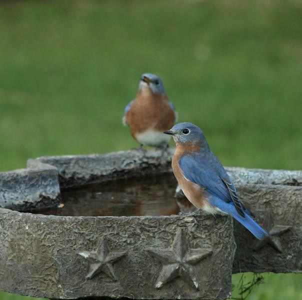 Eastern Bluebirds (males)