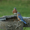 Eastern Bluebirds (males)