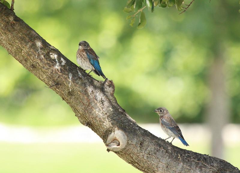 Eastern Bluebird fledglings (3rd brood, 2010)