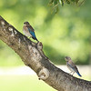 Eastern Bluebird fledglings (3rd brood, 2010)