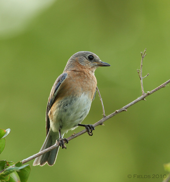 Eastern Bluebird (female)