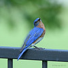 Male Eastern Bluebird wing waving.