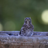 Eastern Bluebird fledgling (1st brood, 2010)