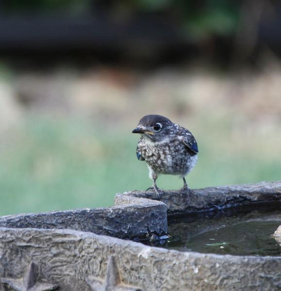 Eastern Bluebird (juvenile male, 2nd brood, 2008).