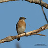Female Eastern Bluebird with nesting material.