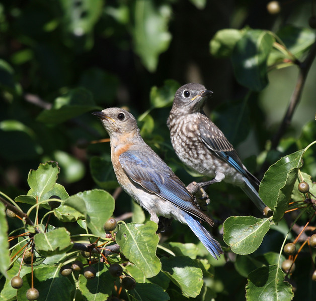 Eastern Bluebirds female with juvenile (1st brood, 2009).