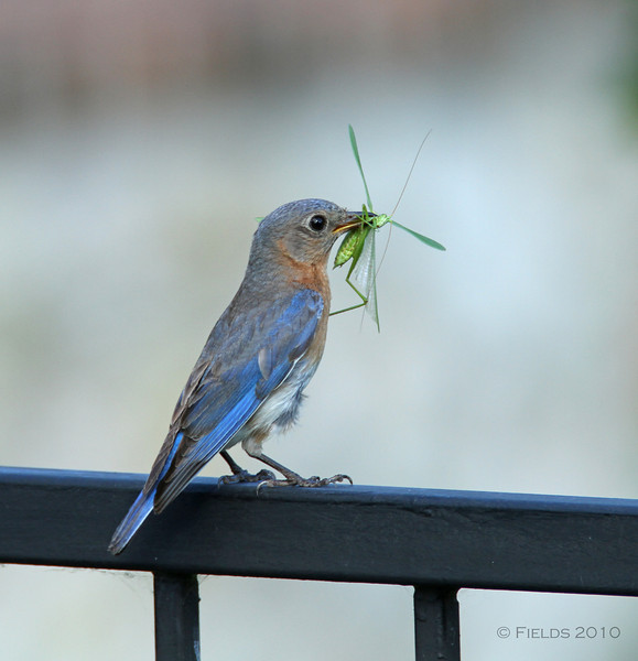 Female Eastern Bluebird with Katydid.