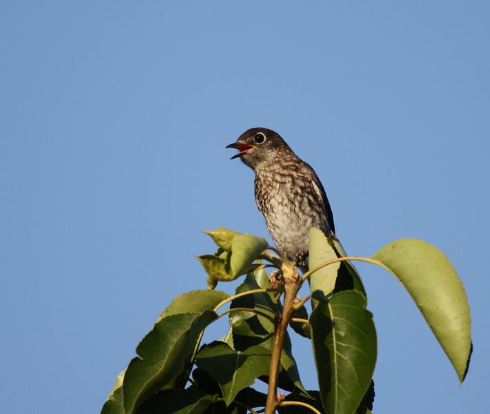 Eastern Bluebird juvenile (1st brood, 2009).