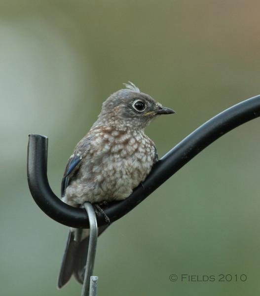 Eastern Bluebird fledgling (3rd brood, 2010)