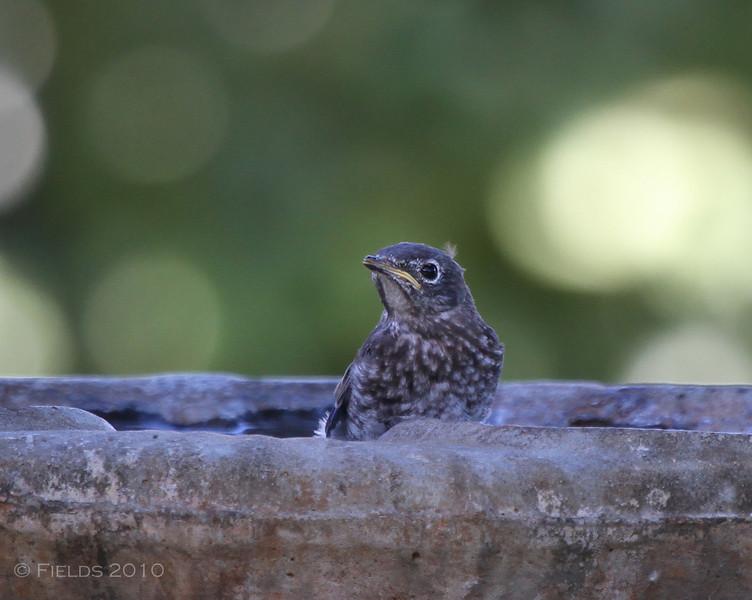 Eastern Bluebird fledgling (1st brood, 2010)