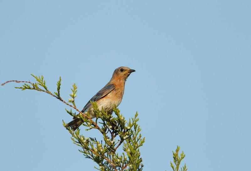 Eastern Bluebird (female)
