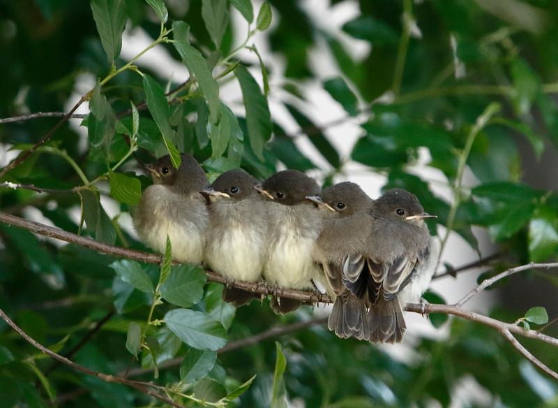 Eastern Phoebe fledglings