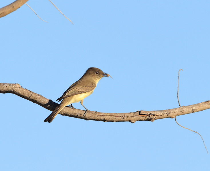 Eastern Phoebe with prey.