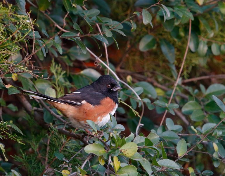 Eastern Towhee (male)
