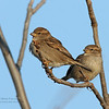 House Sparrow (females)