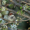 House Sparrow (male)