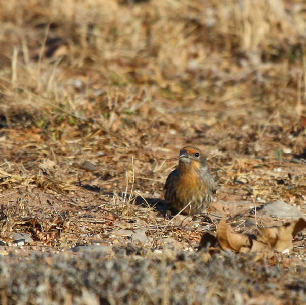 House Finch  (orange variant male)