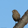 House Finch (female)
