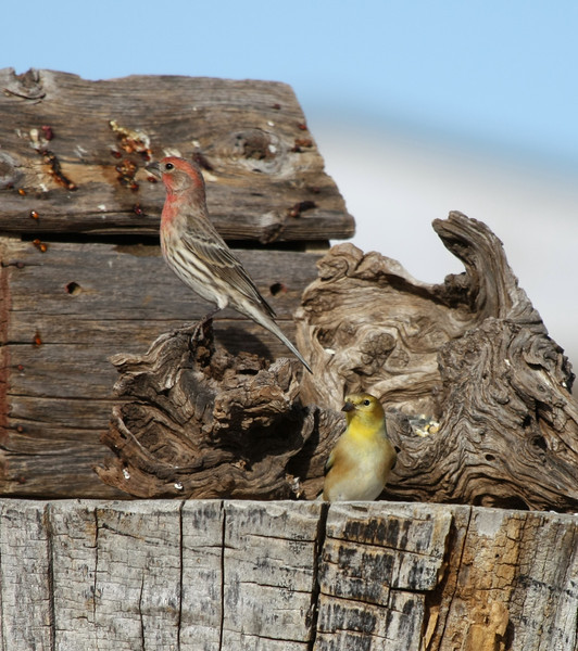 House Finch and Goldfinch
